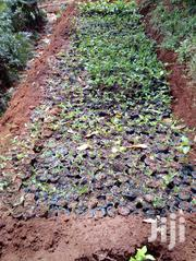 Lemon Seedlings | Feeds, Supplements & Seeds for sale in Murang'a, Ruchu