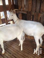Saanen Dairy Goat/Dairy Goat | Livestock & Poultry for sale in Machakos, Athi River