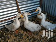 German Pekins, Pure White For Sale | Livestock & Poultry for sale in Machakos, Machakos Central