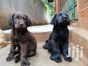 Pedigree Female Chocolate Labrador Puppy For Sale | Dogs & Puppies for sale in Kajiado, Olkeri