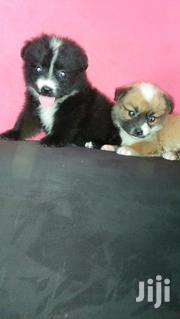 Baby Male Purebred Japanese Spitz | Dogs & Puppies for sale in Nairobi, Nairobi Central