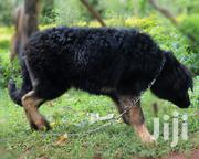 Young Female Purebred Caucasian Shepherd Dog | Dogs & Puppies for sale in Kwale, Ukunda
