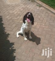 Adult Male Purebred English Springer Spaniel | Dogs & Puppies for sale in Machakos, Athi River