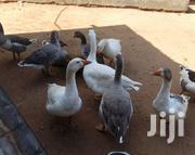 Mature Smart Geese | Livestock & Poultry for sale in Mombasa, Bamburi