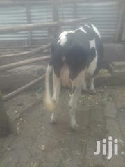 Two Dairy Cows, One In Calf And Two Calves For Sale | Livestock & Poultry for sale in Nairobi, Mihango