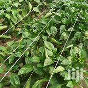 Capsicum Farming | Feeds, Supplements & Seeds for sale in Nakuru, Biashara (Naivasha)