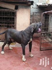 Adult Male Mixed Breed Great Dane | Dogs & Puppies for sale in Kiambu, Ndenderu