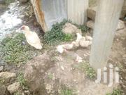 One Month Ducklings For Sale | Birds for sale in Nairobi, Kahawa