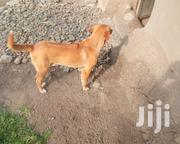 Adult Male Mixed Breed Mongrel (No Breed) | Dogs & Puppies for sale in Homa Bay, Rusinga Island