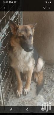 Young Male Purebred German Shepherd Dog | Dogs & Puppies for sale in Nairobi, Kasarani