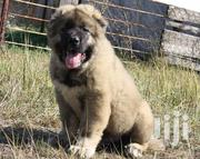 Baby Female Purebred Caucasian Shepherd Dog | Dogs & Puppies for sale in Kisii, Kisii Central
