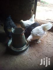 Booted Bantams   Birds for sale in Siaya, North Gem