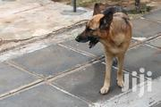 Adult Female Purebred German Shepherd Dog | Dogs & Puppies for sale in Kajiado, Kitengela