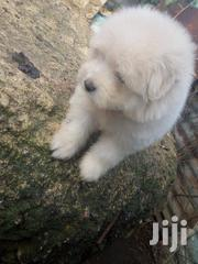 Baby Male Purebred Japanese Spitz | Dogs & Puppies for sale in Mombasa, Bamburi