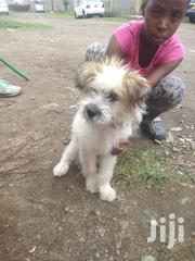 Baby Male Purebred Skye Terrier | Dogs & Puppies for sale in Nairobi, Umoja II