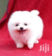 Baby Female Purebred Pomeranian | Dogs & Puppies for sale in Homa Bay, Central Kasipul