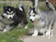 Baby Male Purebred Siberian Husky | Dogs & Puppies for sale in West Pokot, Lomut