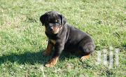 Baby Female Purebred Rottweiler | Dogs & Puppies for sale in Kericho, Chepseon