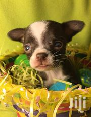 Baby Male Purebred Chihuahua | Dogs & Puppies for sale in Elgeyo-Marakwet, Emsoo