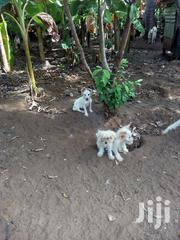 Young Female Mixed Breed | Dogs & Puppies for sale in Mombasa, Shanzu