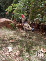 Pure Kuchi Chicken, Well Bred And Fed. Price From KES 5000 Each | Livestock & Poultry for sale in Homa Bay, Mfangano Island