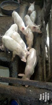 Pigs On Sale | Livestock & Poultry for sale in Kajiado, Ngong
