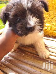 Young Female Mixed Breed Havanese | Dogs & Puppies for sale in Nairobi, Embakasi