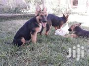 Germany Shepherd 3 Months Fully Vaccinated | Dogs & Puppies for sale in Nairobi, Ruai