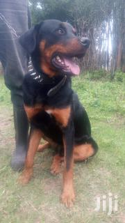 Baby Male Purebred Rottweiler | Dogs & Puppies for sale in Nairobi, Ruai