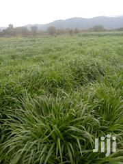 Bracharia Grass For Sale | Feeds, Supplements & Seeds for sale in Kajiado, Matapato South