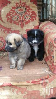 Baby Female Purebred Maltese | Dogs & Puppies for sale in Nairobi, Nairobi Central