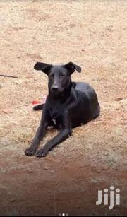 Black Labrador & Rottweiler Halfbreed | Dogs & Puppies for sale in Kajiado, Ngong
