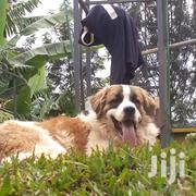 Young Male Purebred Saint Bernard | Dogs & Puppies for sale in Nairobi, Nairobi Central