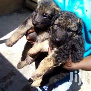 Baby Male Purebred German Shepherd Dog | Dogs & Puppies for sale in Nairobi, Kasarani