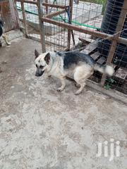Adult Male Purebred German Shepherd Dog | Dogs & Puppies for sale in Laikipia, Thingithu