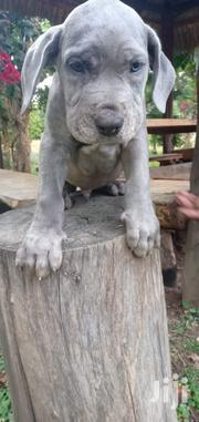 Baby Female Mixed Breed Great Dane | Dogs & Puppies for sale in Laikipia, Nanyuki