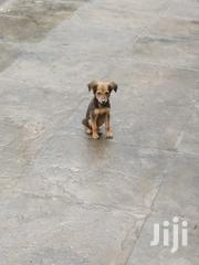 Young Female Mixed Breed | Dogs & Puppies for sale in Nairobi, Imara Daima