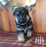 Young Female Purebred German Shepherd Dog | Dogs & Puppies for sale in Nairobi, Gatina