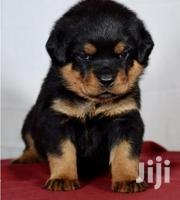 Young Female Purebred Rottweiler | Dogs & Puppies for sale in Kiambu, Kamenu