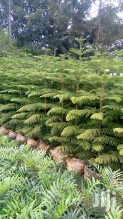 Soft Auceria (Ornamental) | Feeds, Supplements & Seeds for sale in Murang'a, Kamahuha