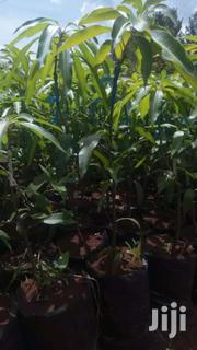 Grafted Tommy Mango | Feeds, Supplements & Seeds for sale in Murang'a, Kamahuha