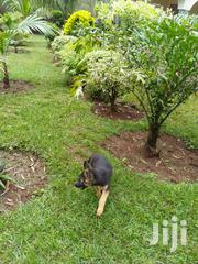 Young Female Purebred German Shepherd Dog | Dogs & Puppies for sale in Migori, Central Sakwa (Awendo)