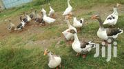 Geese For Sale | Livestock & Poultry for sale in Uasin Gishu, Kimumu