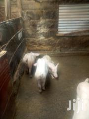 7 Months Pigs For Sale | Livestock & Poultry for sale in Kiambu, Limuru Central