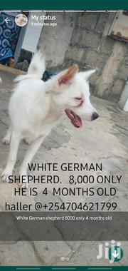 Young Male Mixed Breed Australian Shepherd | Dogs & Puppies for sale in Mombasa, Mkomani