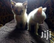 Baby Female Mixed Breed Siamese Cat | Cats & Kittens for sale in Kiambu, Kihara