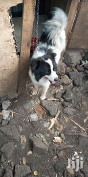 Senior Male Purebred Border Collie | Dogs & Puppies for sale in Nairobi, Embakasi
