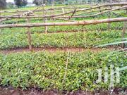 One Year Old Tea For Planting ,Cron, 31,8 | Meals & Drinks for sale in Kirinyaga, Inoi