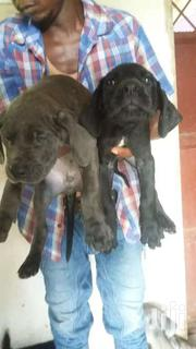 Greatdane Puppies At 8weeks   Dogs & Puppies for sale in Mombasa, Bamburi