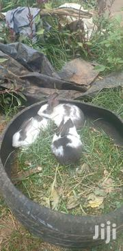 Domestic Rabbits | Livestock & Poultry for sale in Uasin Gishu, Racecourse